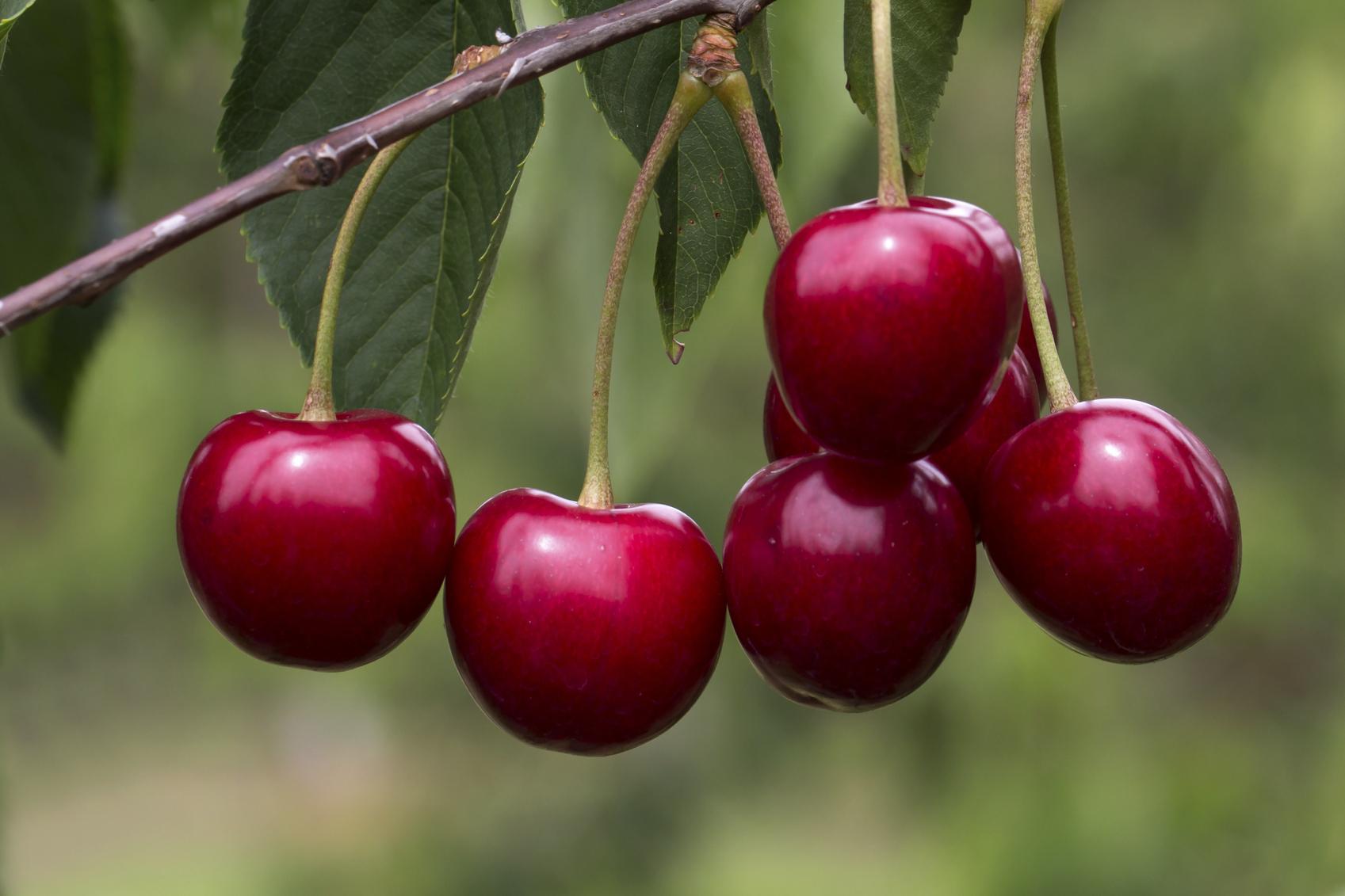 cherry-grower