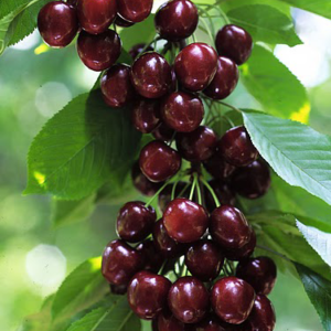 cherry-supplier
