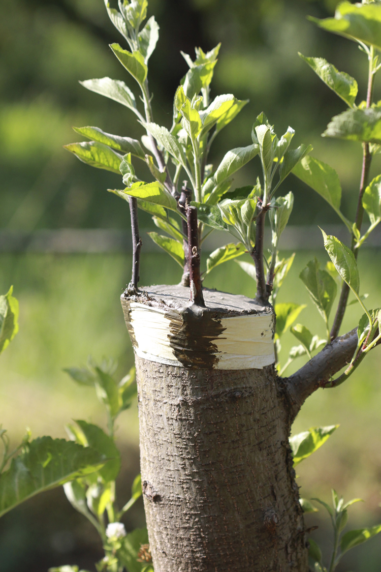 grafting-apple-trees