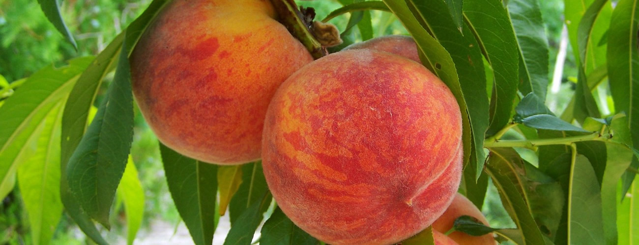 peach supplier