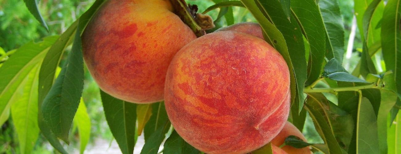 peach supplier