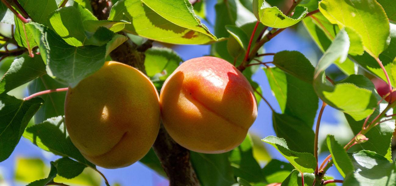 Sage Fruit Apricots
